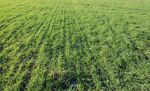 Field of cover crops.