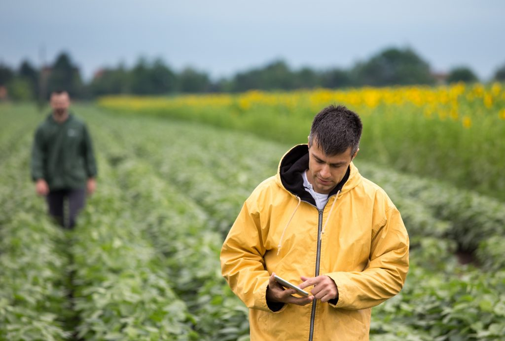 Farmer uses tablet in his soybean field.