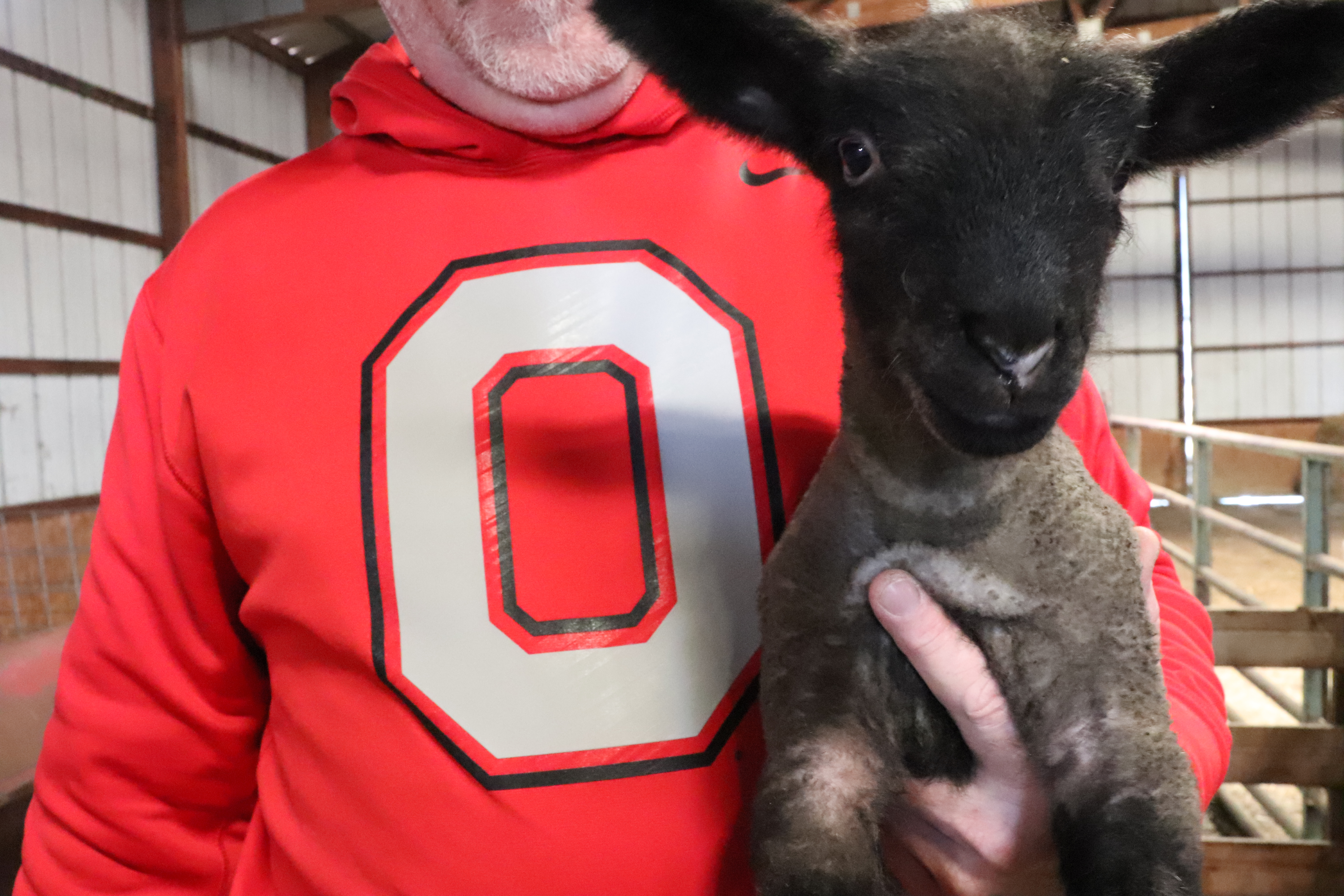 An OSU fan holding a young lamb.