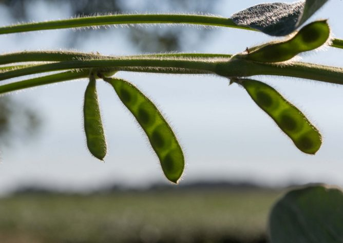 Soybean pods in the field.