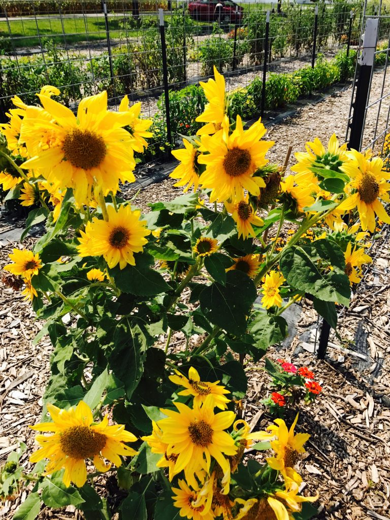 Sunflowers at the UNITY Fridge garden.