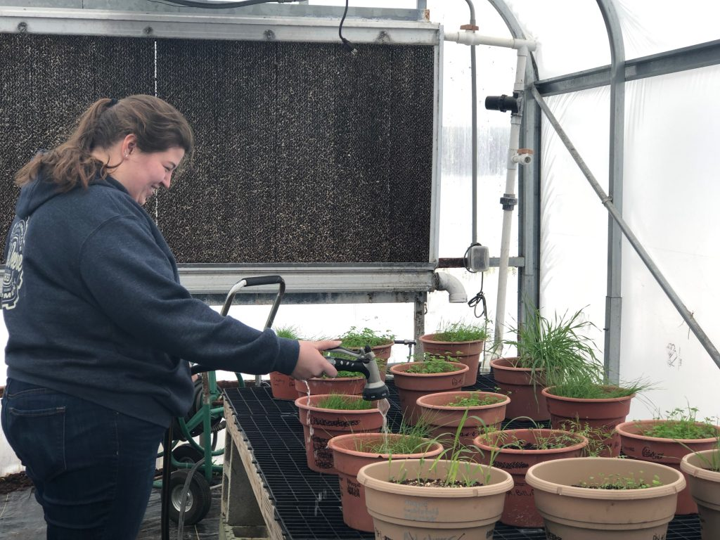 An OSU ATI student watering plants in the greenhouse.